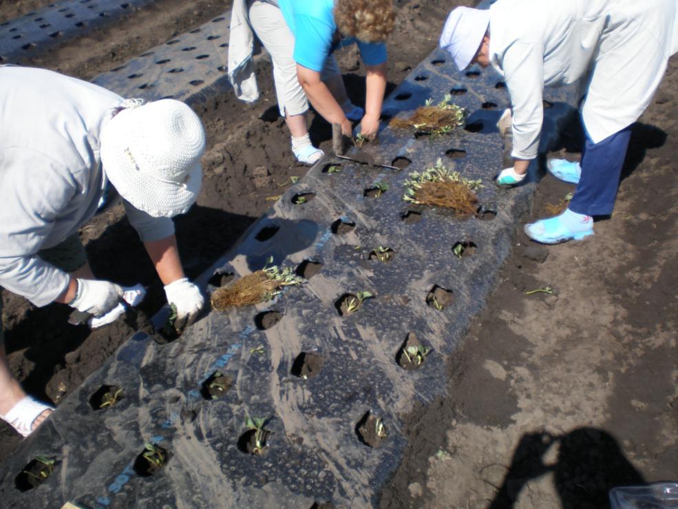 Выращивание клубники на рубероиде 47