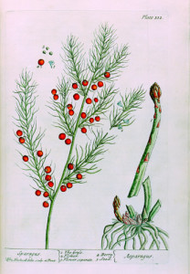Asparagus_botanical