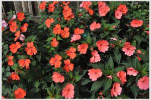 бальзамин-садовый