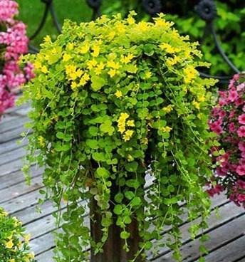 Цветы вербейник-фото