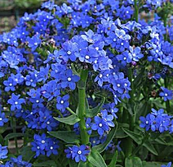 с цветами фото цветок синими садовый