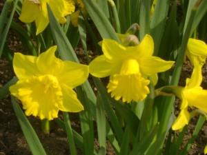 Нарцисс-желтый.