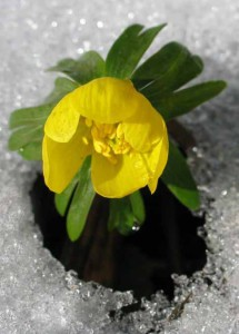 tsvetok-vesennik