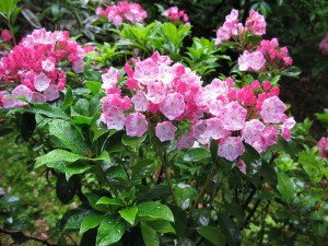 55411912_800pxKalmia_latifolia_Japan