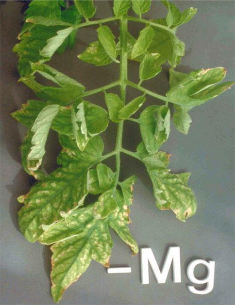 лет листья помидор в гидропонике желтеют если