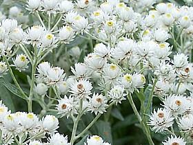 anaphalis_triplinivernis_perlpfoetchen_trockenblume