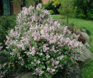 Syringa-microphylla-flowering