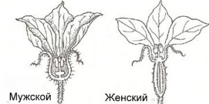 ogurzi