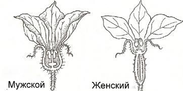 Женские и мужские цветы огурцов