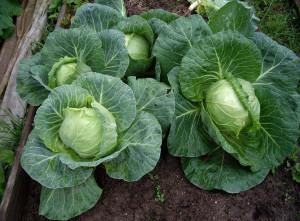 Cabbage Pourovo Polopozdni