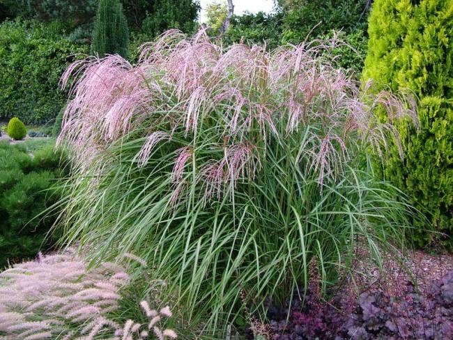 Лисий хвост растение