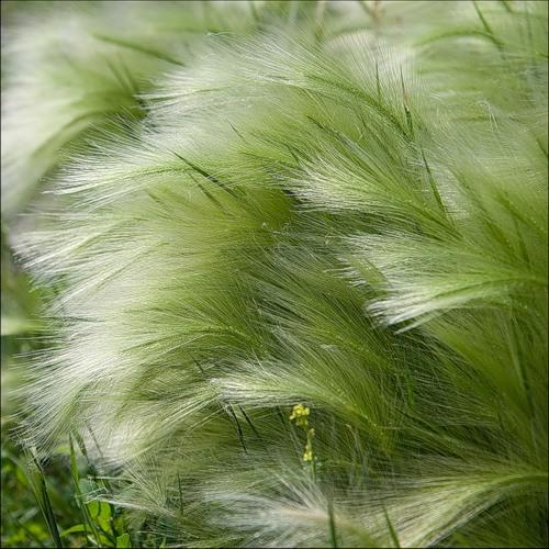 Перистощетинник (Pennisetum)