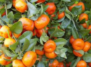 polza-mandarinov