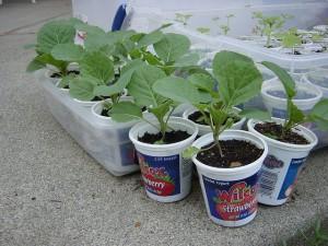 cabbage-rassada