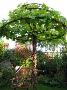 The Vine Tree September 2010  (vine planted May 2008)