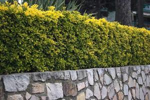euonymus-japonicus-aureomarginatus-1