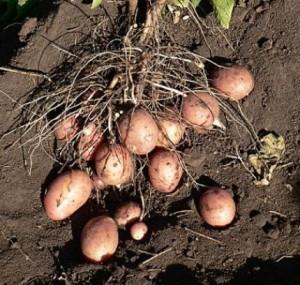 semennoj-kartofel-1