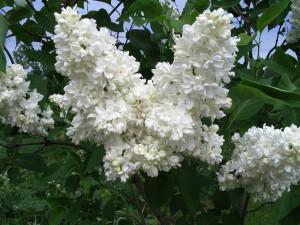 Syringa-vulgaris-Souvenir-d-Alice-Harding