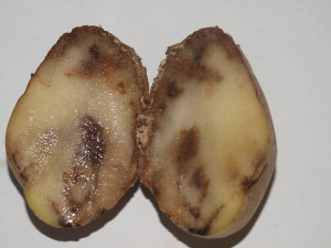 Phytophthora infestans (Tuber symptoms) 18 (3648 x 2736 + RAW) Solanum tuberosum