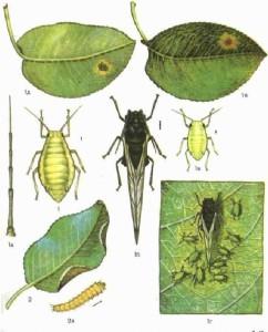 zelenaya-grushevo-zontichnaya-tlya-anuraphis-pyrilaseri-koch