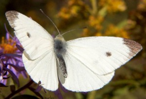 cabbage_white_3